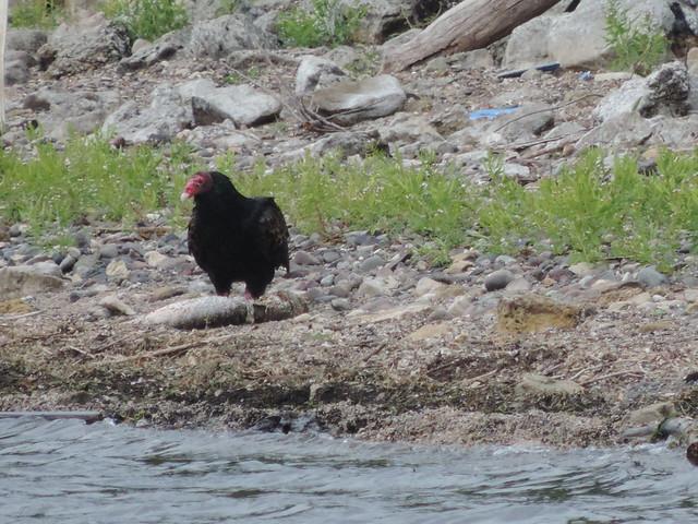 Turkey Vulture Eating a Dead Fish #2   Flickr - Photo Sharing!