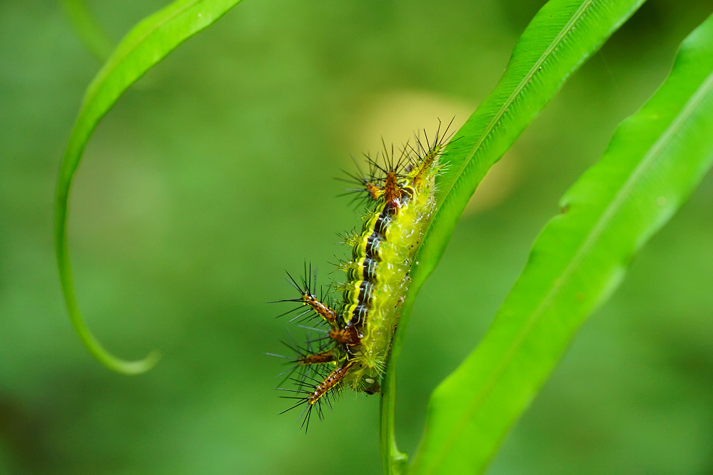 梨刺蛾-4