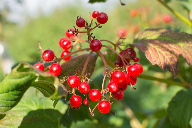 autumngathering_berries