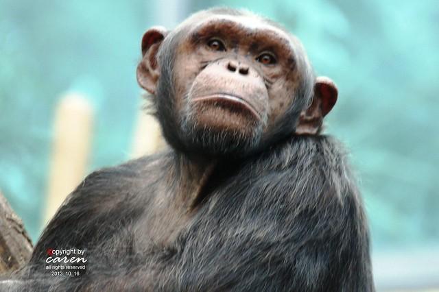 Chimpanse 2013_10_16 513