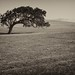 California Live Oak by baacharu