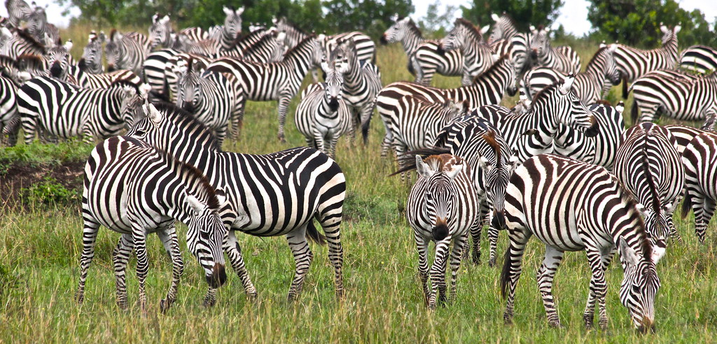 A sea of Zebras...