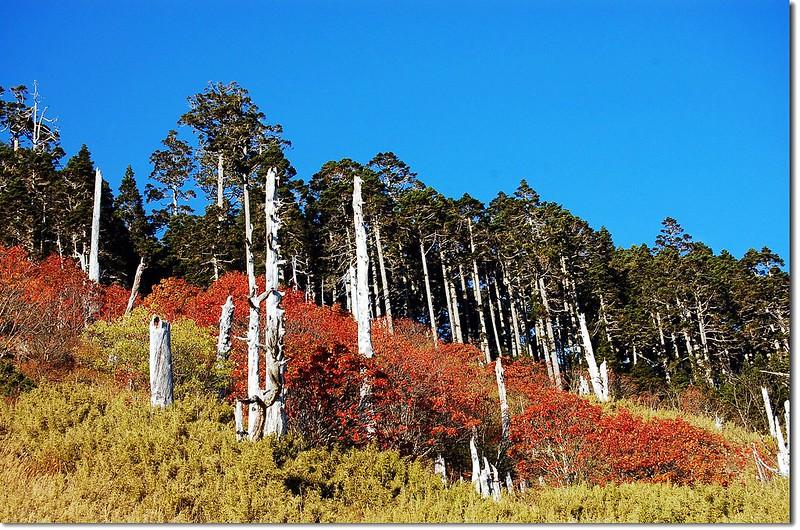 白木林與巒大花楸(From 369山莊) 11