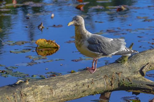 <p><i>Larus glaucescens</i>, Laridae<br /> Stanley Park, Vancouver, British Columbia, Canada<br /> Nikon D5100, 70-300 mm f/4.5-5.6<br /> November 14, 2013</p>