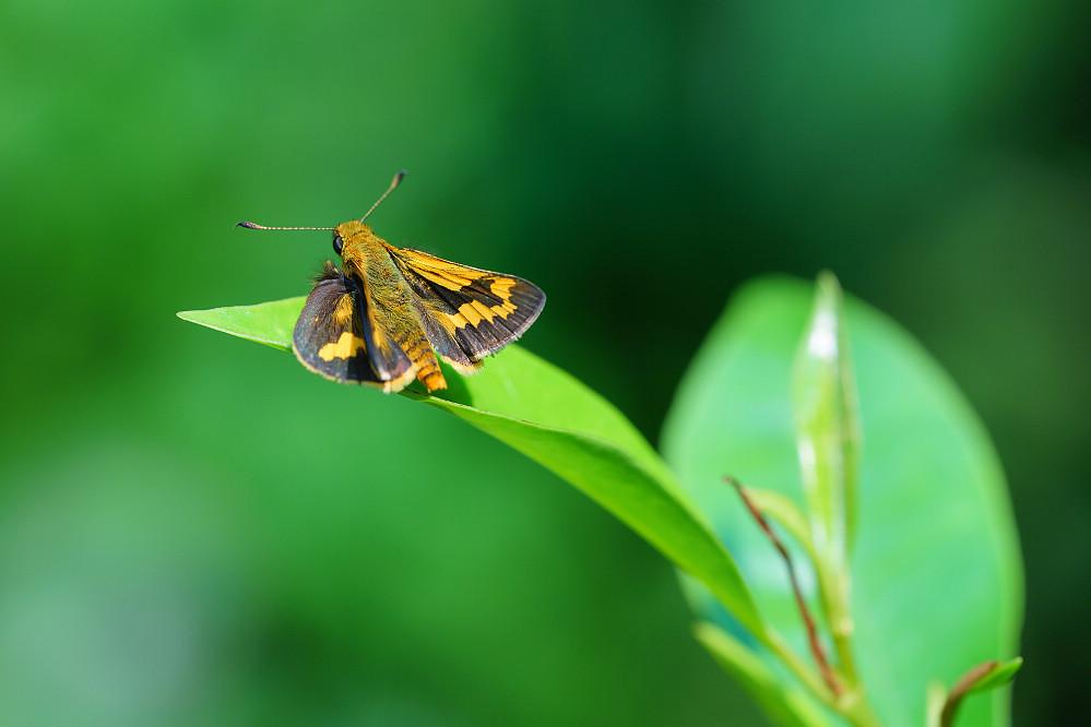 橙斑弄蝶屬竹橙斑弄蝶02