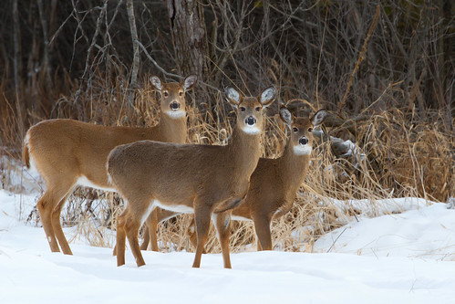 Do Ra Me - White-tailed deer, Ottawa, Ontario