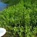 Small photo of Alternanthera philoxeroides habit1c