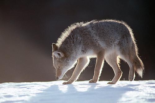 Wildlife in British Columbia, Canada: Coyote