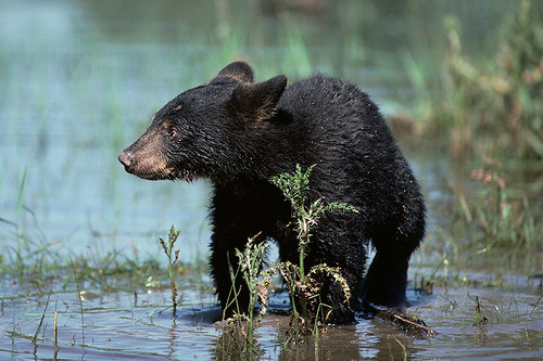 Wildlife in British Columbia, Canada: Black Bear / American Black Bear