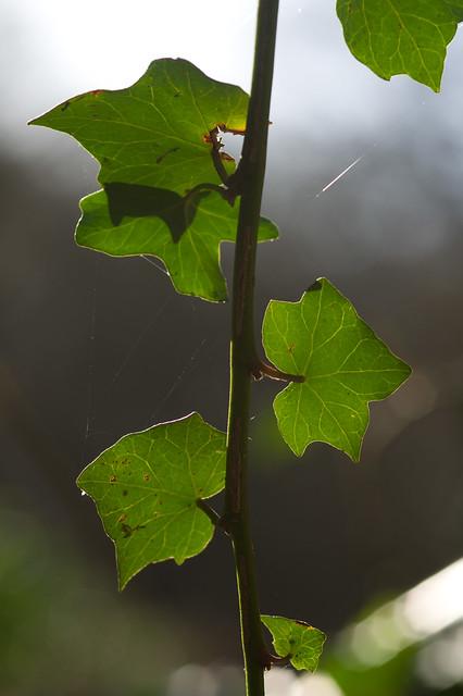 20: Ivy