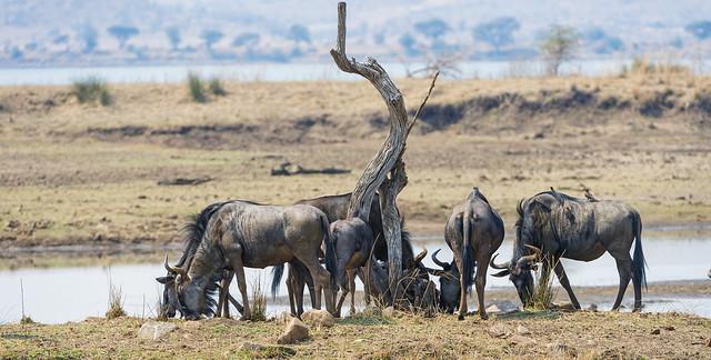 Ñúes en el lago. Parque Nacional de Pilanesberg.