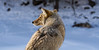 Coyote Sentinel