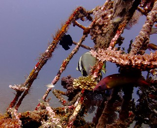 Batfish at Reef Project, Alam Anda Housereef