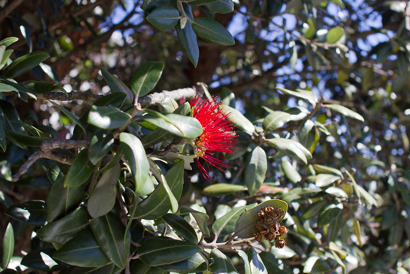 Sunday, December 1: My first pohutukawa bloom of the season. Christmas is on its way.