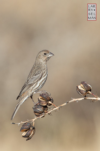 arizona bird nature birds female unitedstates wildlife bisbee housefinch avian wildbirds selman {vision}:{sunset}=0578