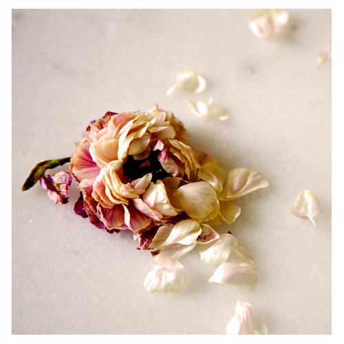 Dried Out Peony