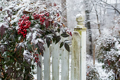 Nandina Picket Fence and Snow