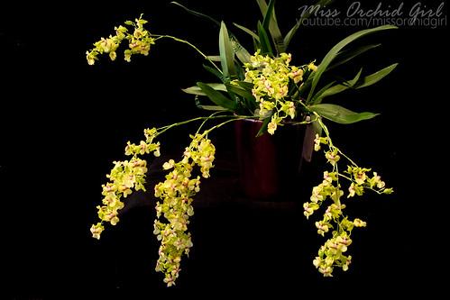 Specii si modele de orhidee parfumate - Pagina 2 12747795514_a2a2effaa3
