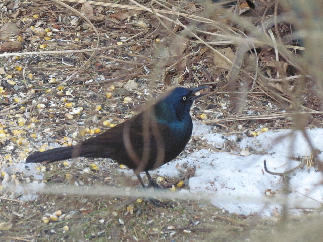 First Grackle day 2 2:25:14