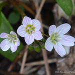 Claytonia virginica blooming in my urban backyard native plant garden