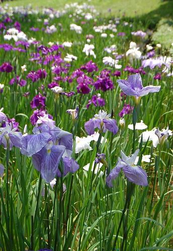 明治神宮の花菖蒲