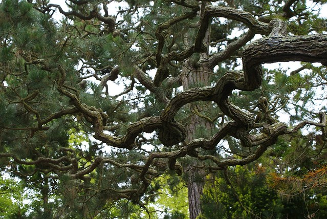 > Branches d'arbres nouées dans la jardin japonais de SF.