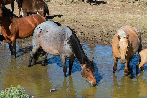 Wild horses at water