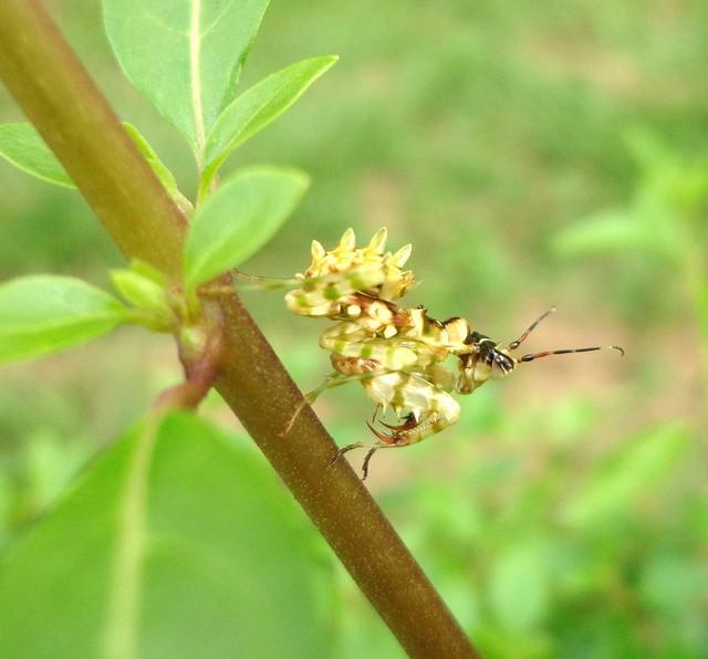 nymph, african flower mantis | Flickr - Photo Sharing!