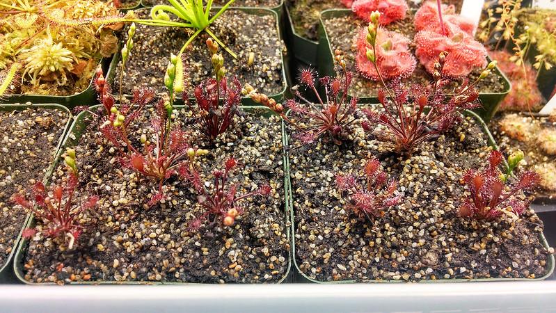 Drosera intermedia 'Cuba', freshly-repotted.