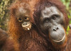 Borneo Orang-utans