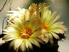 Astrophytum myriostigma var. nudum (Rud.Mey.) Frič