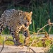 Jaguar (Panthera onca) by Jeluba