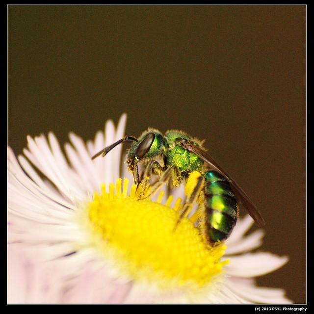 Metallic Green Bee (Genus Agapostemon)