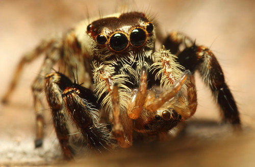 Jumping Spider Eating Spider