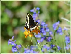 Indra indra swallowtail Colorado butterfly photography by Ron Birrell; DSC_1999