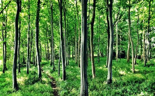 Hornbeam grove