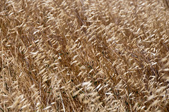 hordeum, agriculture, straw, food grain, field, wheat, plant, close-up, crop,