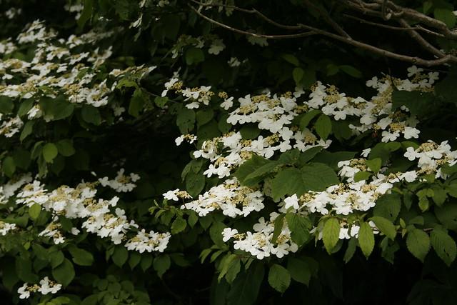 ヤブデマリが花盛りでした.