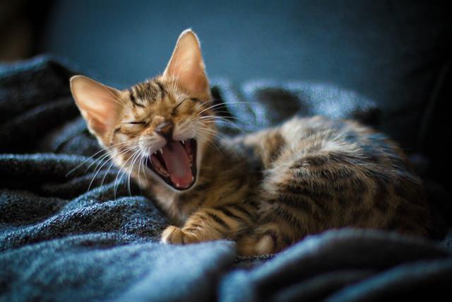 Baby Bengal super yawn! [Explored]
