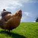 Ain't nobody here but us Chicken's by Rusty Marvin - JohnWoracker.com