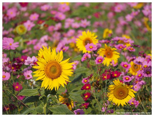 Sunflowers in the cosmos #01