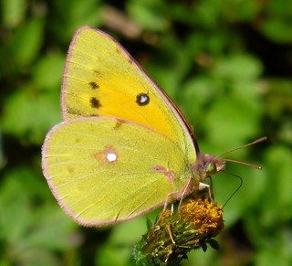 Colias_fieldii_adult