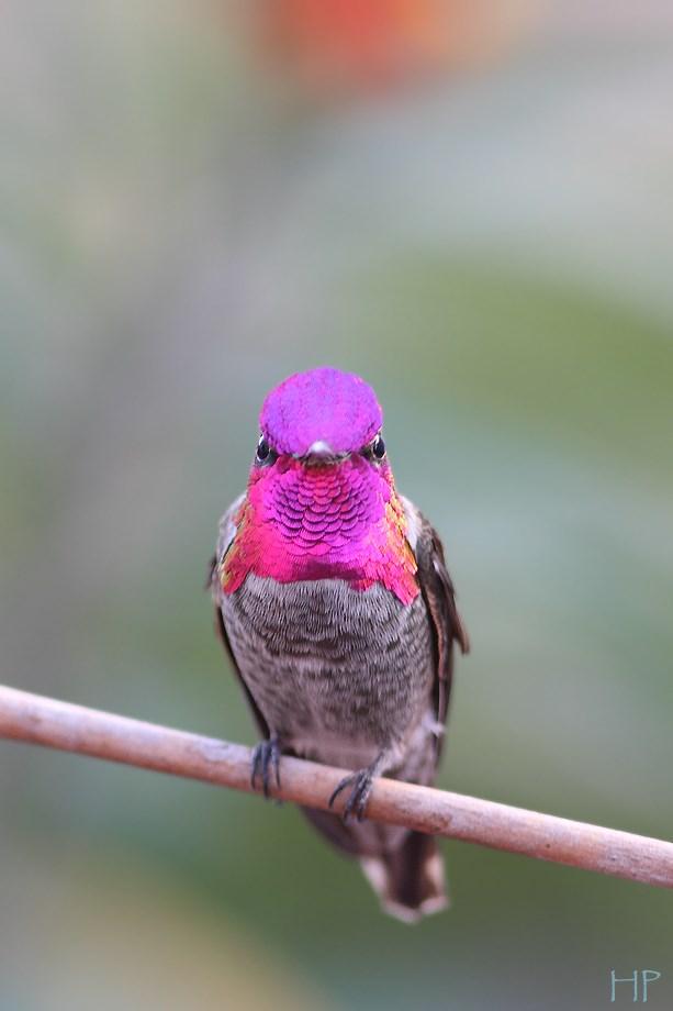 Anna's Hummingbird 102813-2