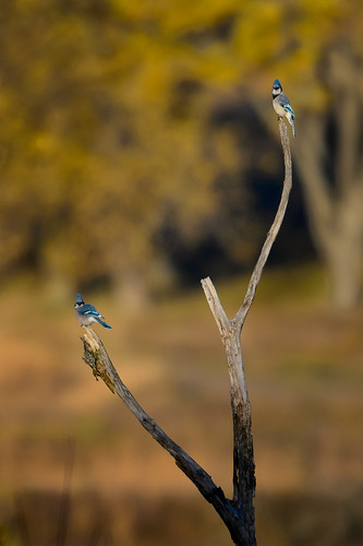 Pair of Blue Jays_49083.jpg