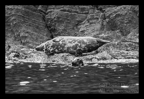Grey_seals_at_rest