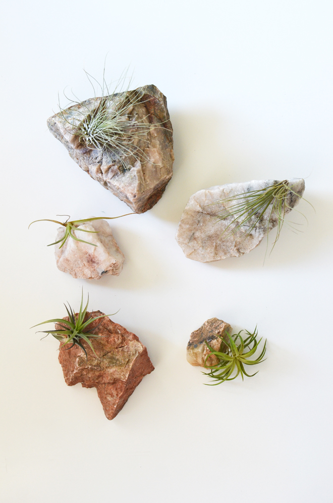air plants and rocks
