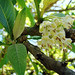 Small photo of Acnistus arborescens, known as Hollow Heart