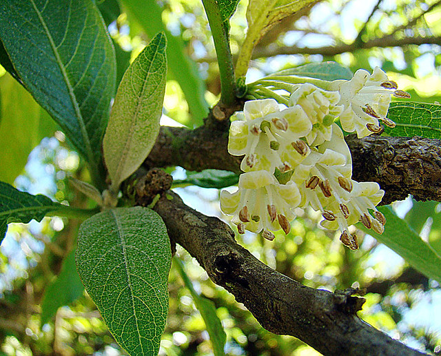 Header of Acnistus arborescens