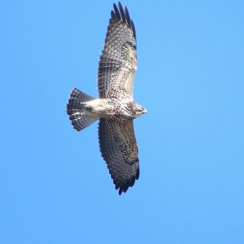bird rare swainsonshawk buteoswainsoni