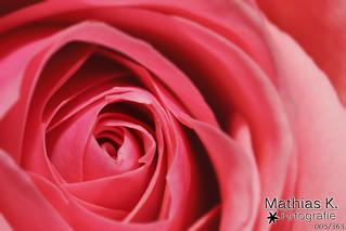 Rosenblüte | Projekt 365 | Tag 5